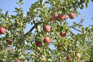 摘蘋果(山元蘋果工會・鹫足果樹生產工會)