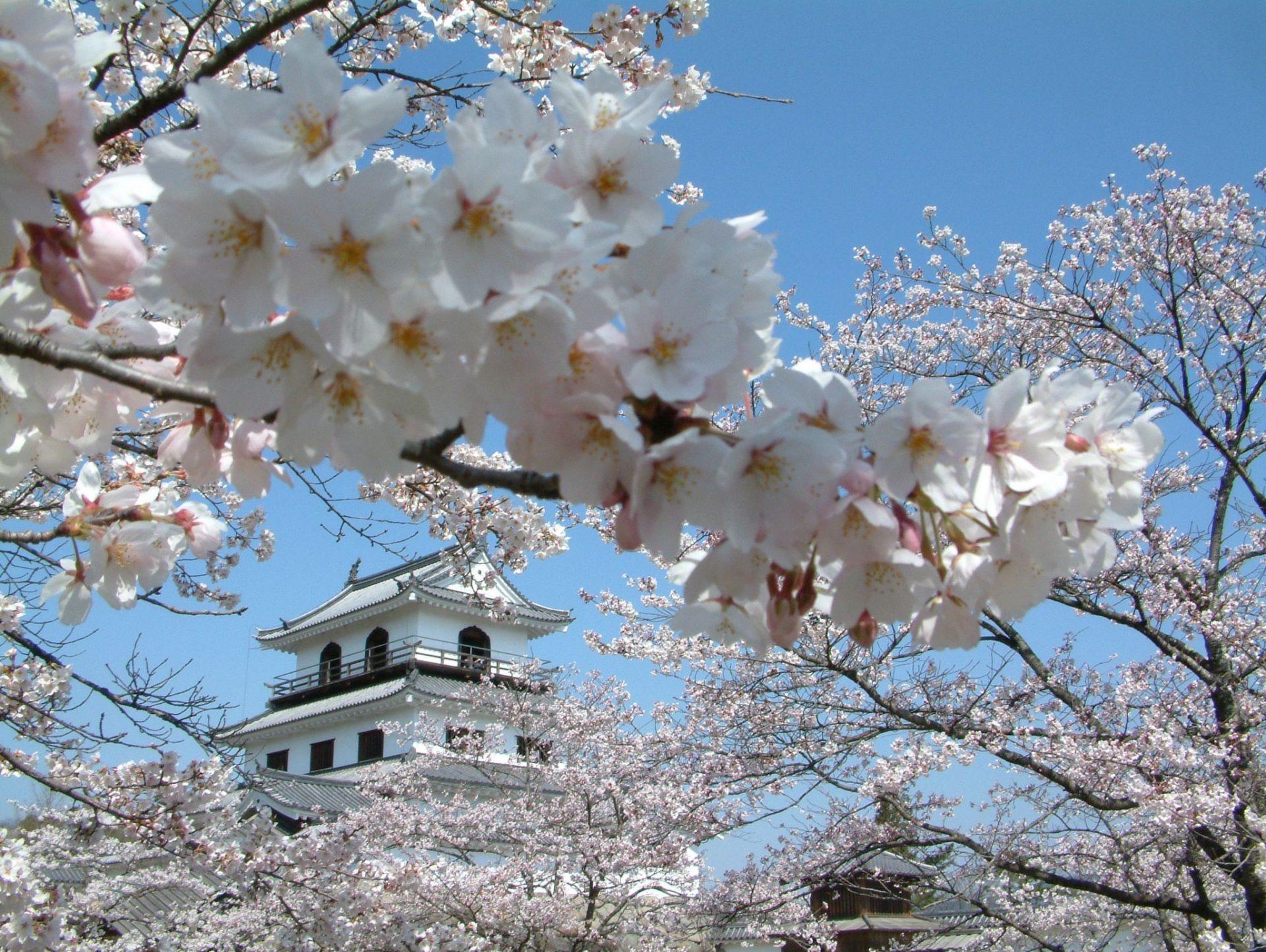 白石城樱花节