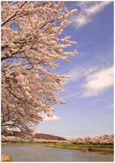 Oogawara Sakura Festival