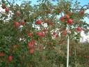Sato Orchard