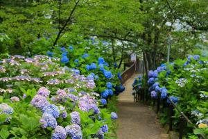 시바타 수국꽃 축제
